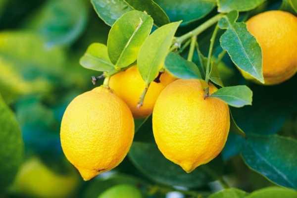 Способ хранения лимона, которым мало кто пользуется: не нужно каждый раз отрезать дольку, вымазывать руки, доску и нож в сок
